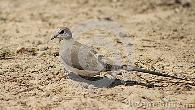 Namaquae Dove, Female - African Gamebird