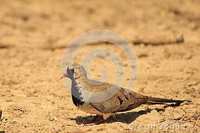 Namaquae Dove - Small and Swift