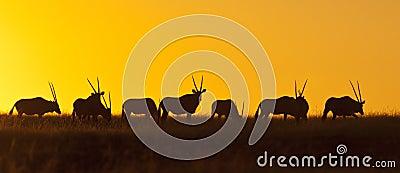 Namibia - Gemsbok en la puesta del sol