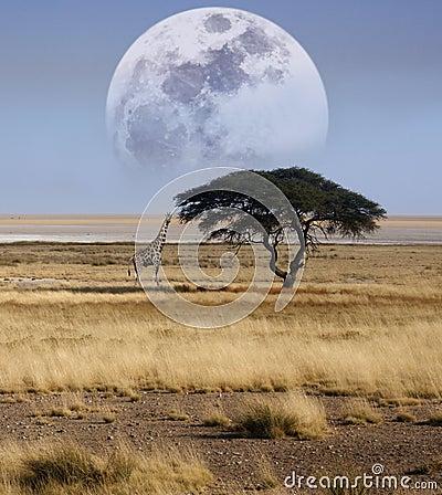 Namibia - Giraffe - Etosha National Park