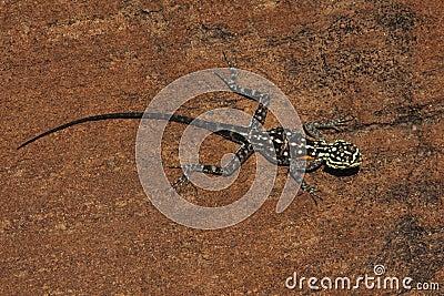Namibian Rock Agama - Namibia