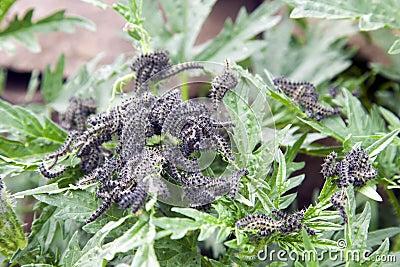Namiotowe gąsienicy