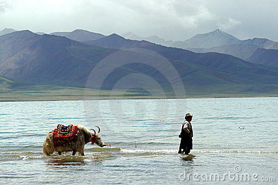 Namtso lake with yak Editorial Stock Image