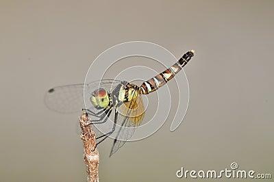 Nannophya pygmaea pygmy dragonfly