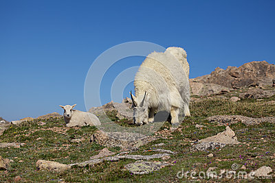 Nanny and Baby Mountain Goat
