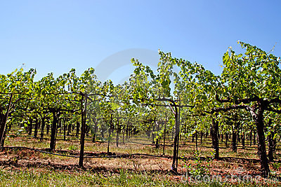 Napa Valley Vineyard Royalty Free Stock Images - Image: 15091659