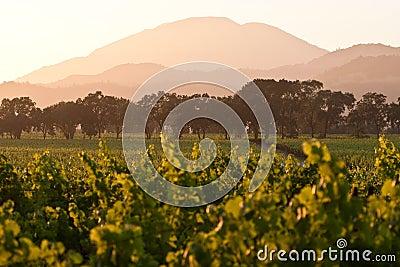 Napa valley vineyard at dusk