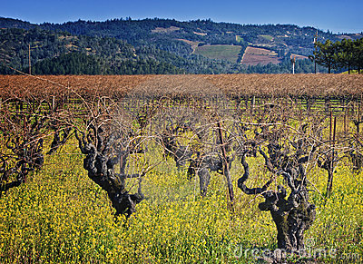 Napa Valley Vineyard, Wine Country California