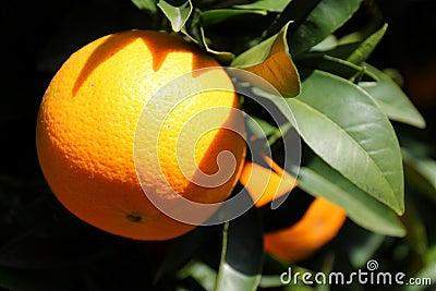 Naranja en un árbol