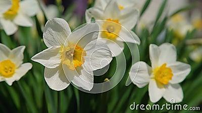 Narciso in fioritura sulla molla video d archivio