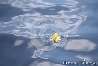 Narciso que mandila en agua azul