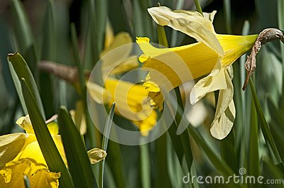 The narcissus