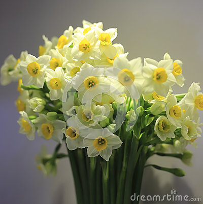 Free Narcissus Stock Images - 36294104