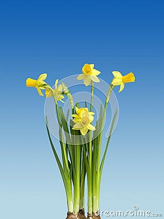Free Narcissus Stock Photo - 8361790