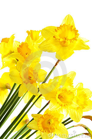 Free Narcissus Royalty Free Stock Image - 9200906