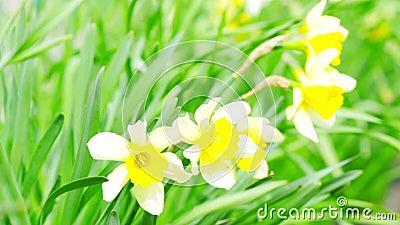 Narcissus blommor arkivfilmer