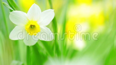 Narcissus blommor stock video