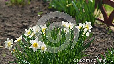 Narcissus Daffodil Flowers in un giardino video d archivio