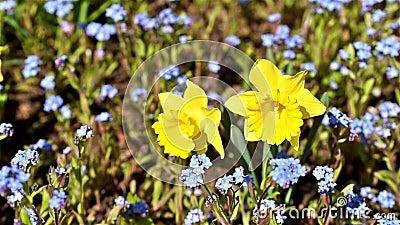 Narcissus Flower In Fresh Green gräs