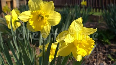 Narcissus Flower giallo video d archivio