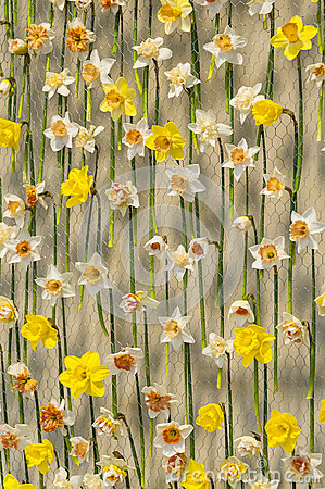 Free Narcissus On Metal Net Stock Image - 84932251