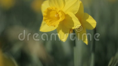 Narcissus Protecting Other Daffodil dal vento video d archivio
