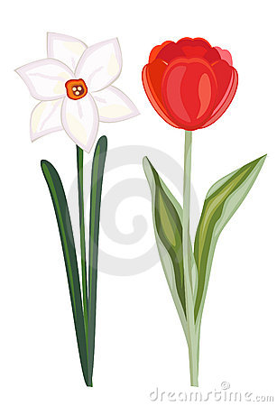 Narcissus and tulip