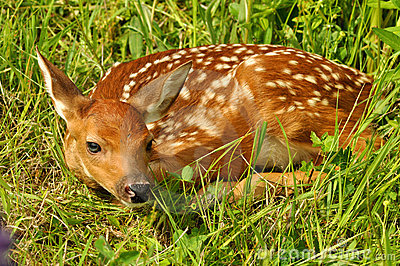 Nascondersi Bianco-munito del fawn dei cervi