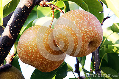 Nashi pear on the tree