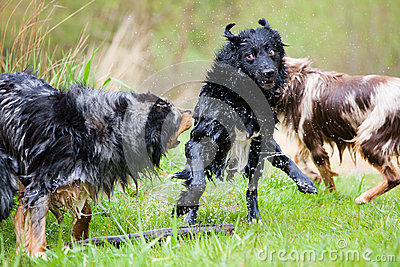 Nasse Hunde in der Aktion