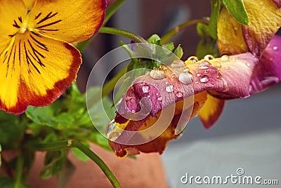 Nasse violette Blumen