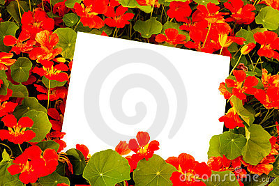 Nasturtiums and Copyspace