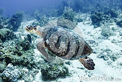 Natação pacífica da tartaruga verde no grande recife de coral, montes de pedras, aus