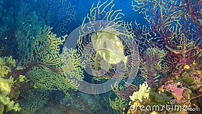 Natación de los pescados del ` s de Petr con gorgonian amarillo almacen de metraje de vídeo