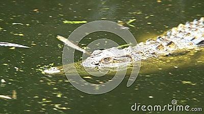Natación de Nile Crocodile mitad-sumergida en agua almacen de metraje de vídeo