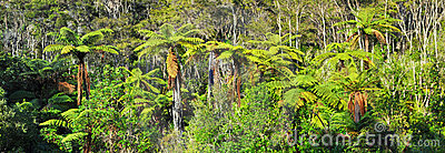 Native Bush Background Panorama, New Zealand