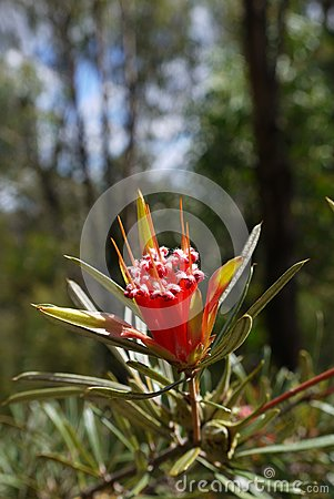 Australia: native mountain devil flower