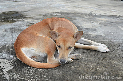 Native thai dog