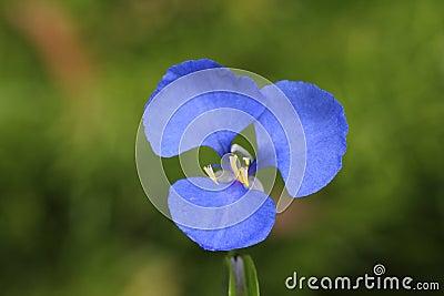 Blue Native Wandering Jew flower head