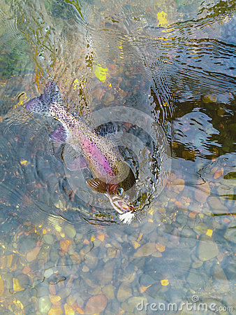 Free Native Wild Redside Rainbow Trout Hooked On Dry Fly Royalty Free Stock Images - 54901609