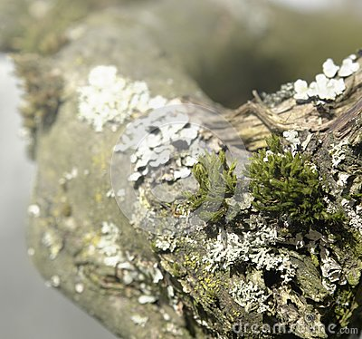 Natural bough with moss and lichen