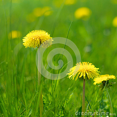 Free Natural Dandelions In Spring Royalty Free Stock Photography - 53238777