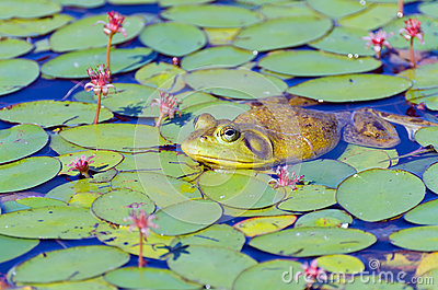 Closeup of Bull Frog on Lily Pads