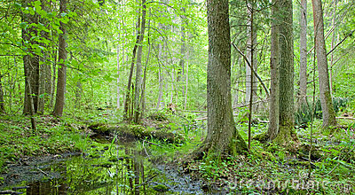 Natural swampy forest at springtime