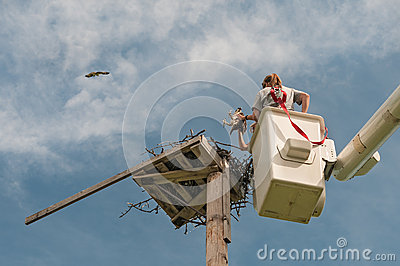 Naturalists Return Osprey to Nesting Platform Editorial Stock Image