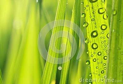 Nature fresh grass with dews
