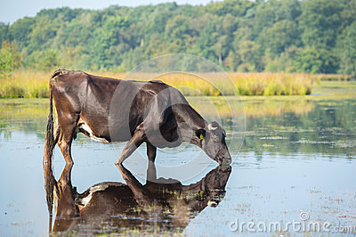 Nature landscape with cow in water