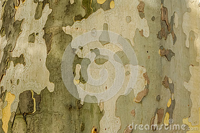 Nature painting - trunk of plane-tree