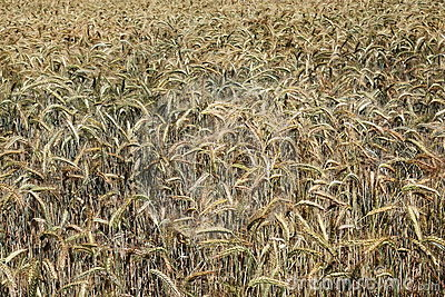 Nature s Palette Colours Ripening Wheat