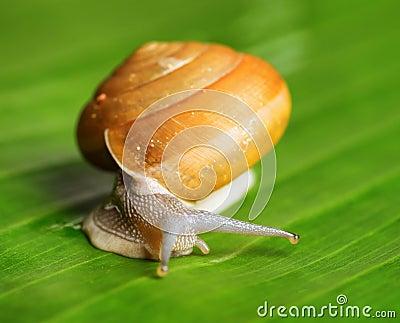 Snail creeps on green leaf